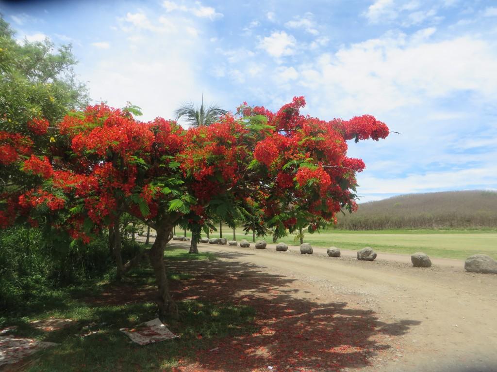Kuendu Beach flame tree