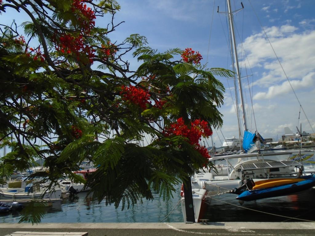 Magenta Bay flame tree 2