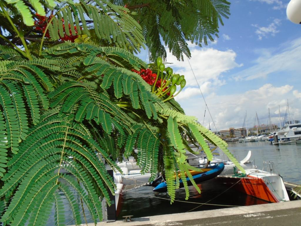 Magenta Bay flame tree 3