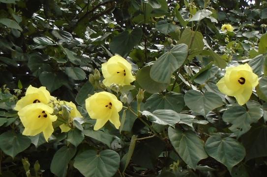 hibiscus lutea