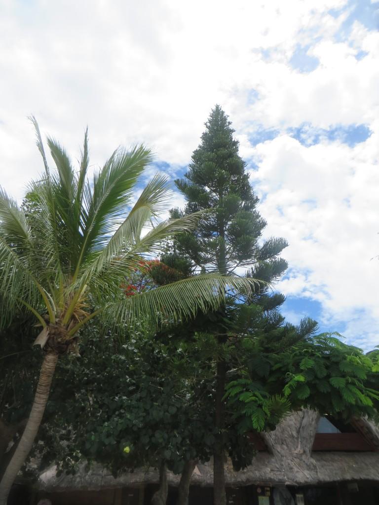 more Kuendu trees
